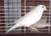 Rezessiv weiße Kanarienvögel