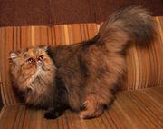 Reinrassige perser Katze kastriert