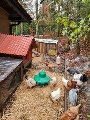 Landw Fläche zur Hühnerhaltung gesucht