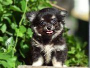 Chihuahua suchen Traum Zuhause