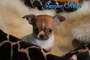 Traumhafte Chihuahua Kurzhaar Welpen mit