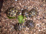 Schildkröten - Griechische Landshildkröten