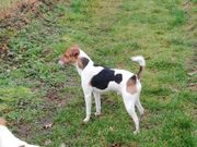 Deckrüde Parsen Jack Russel Terrier