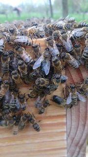 Bienenvolk Ableger, Naturbau,
