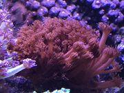Meerwasser Koralle Goniopora Rot mit
