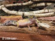 Leopardgeckos mit Terra abzugeben