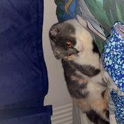 BKH Scottish Fold Katze