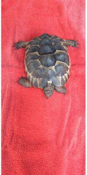 Maurische Landschildkröte mit Papieren zu