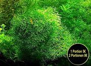 Sternlebermoos Aquarienpflanzen Versand Abholung