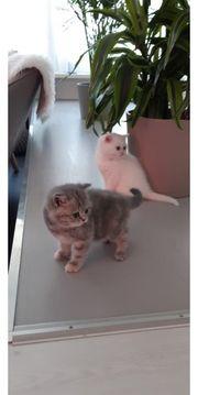 2 Zuckersüße BKH Kitten