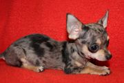Chihuahua welpen mit
