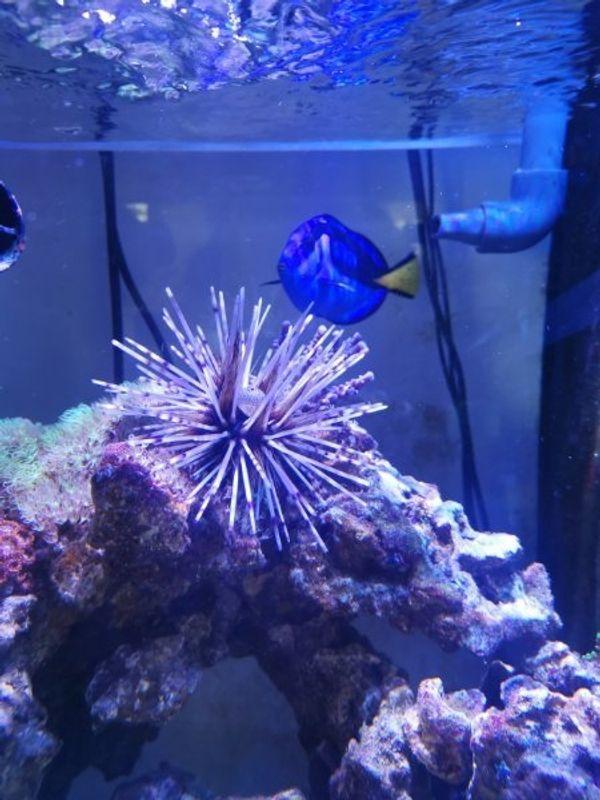 Seeigel Meerwasser Salzwasser Aquarium
