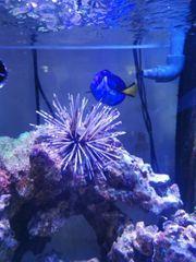 Seeigel Meerwasser Salzwasser Aquarium korallen