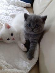 Reinrassig BKH-Kitten
