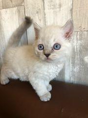 Allergikerfreundliches Rex Kätzchen weiblich