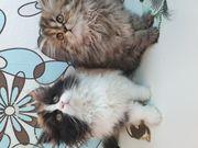 Perser Katze Perserkitten Perserbaby Katzenbaby