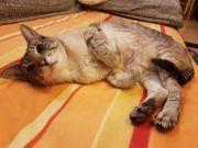 liebevolle Siamkatze zum abgeben