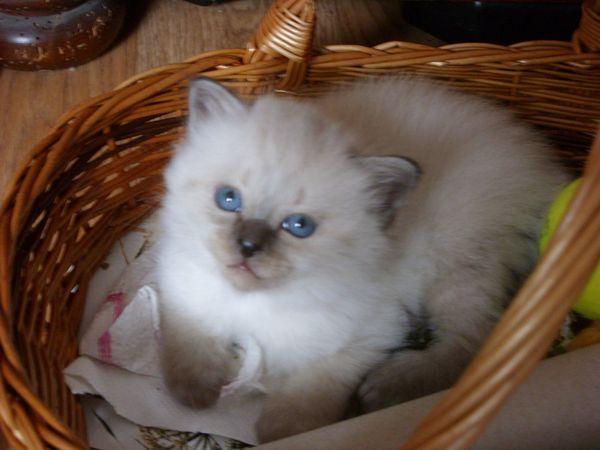 Heilige Birma Mix -Kitten