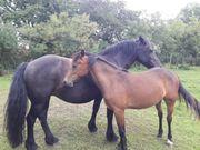 Mix-Stute Kleinpferd Pony