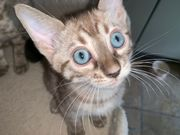 Bengal Kitten Snow Mädchen und
