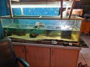 2 Moschusschildkröten mit Aquarium
