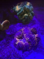 Meerwasser lobophylia Koralle