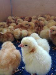 Eintagsküken ab 50 cent Henne