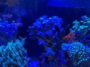 Korallen Milka Meerwasser Aquarium