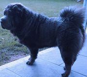 Reinrassige Hundin Shar Pei