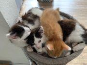 Maine Coon Mischlings Kitten suchen