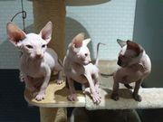 Sphinx kitten Katzen