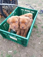 Wundervolle Bordeaux Doggen Welpen suchen