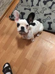 Französiche Bulldogge