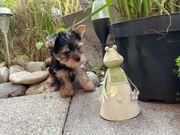 Yorkshire Terrier mit Ahnentafel