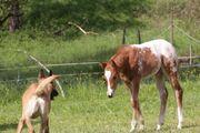 Skip Pony Of America Hengst