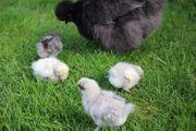 Super zutrauliche reinrassige Zwergseidenhühner Küken
