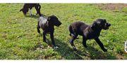 Labrador mittelschnauzer mix