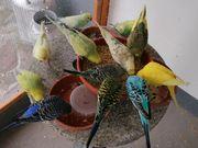 Nestjunge farbenfrohe Wellensittiche