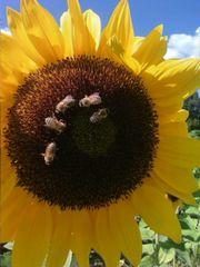 Carnica Bienenvolk, Bienenschwarm