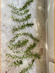 Aquarium Pflanze Wasserpest 0 50