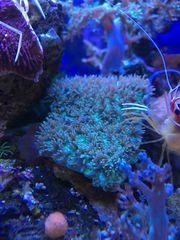 Koralle Hydnophora pilosa Ableger LPS