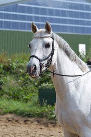 Pony für Spring-u Dressursport top