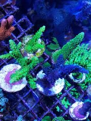 Meerwasser Aquarium Korallen Ableger sps