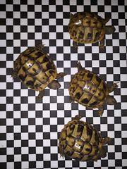 Griechische Landschildkröten Babys THB