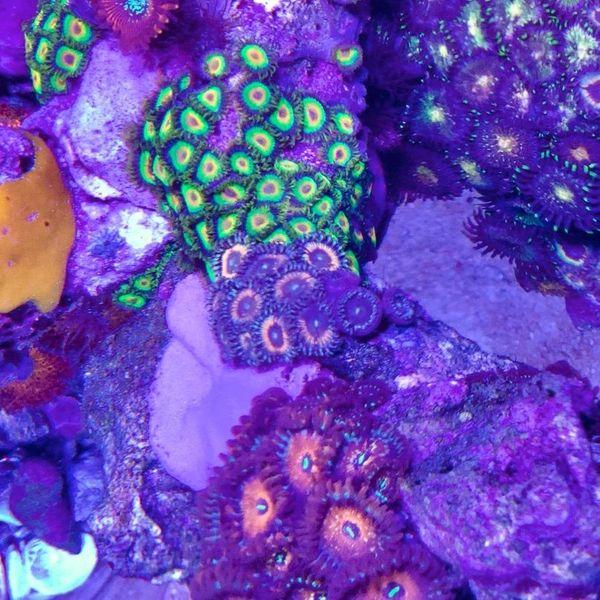 Zoanthus sp. Petroglyph - Krustenanemonen, Meerwasser, Ultra Zoa, Weichkoralle