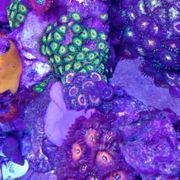 Zoanthus sp Petroglyph - Krustenanemonen Meerwasser