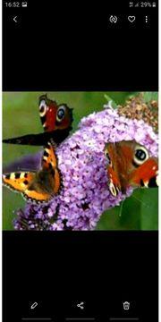 Schmetterlingsflieder vers Farben
