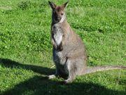 Wallaby Bennett Känguruh