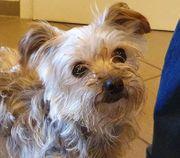 DOLLY Yorkshire Terrier - verliert ihr
