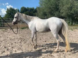 Pferde - Schicke Araber-Pony-Stute 12 jährig Stm